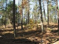white pine forest